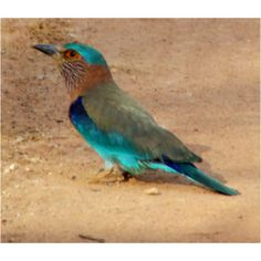 Indian Roller,Kanha National Park India