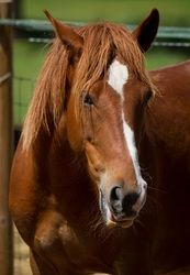 Lily is an adoptable Quarterhorse Horse in El Dorado Hills, CA. Lily also was one of the 2011 November Rescue Miracle horses rescued from a Nevada feedlot. Upon rescue, the horses were all placed at a...