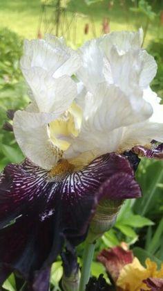 Piano man bearded iris