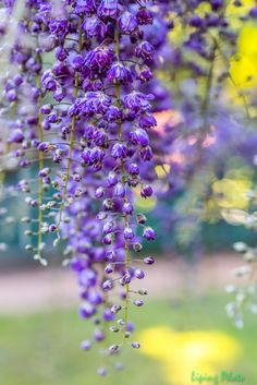 ~~Japanese Wisteria by Liping Photo~~