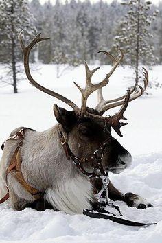 Christmas Deer, Christmas Colors, Winter Christmas, Christmas Themes, Santa North Pole, Santa And Reindeer, Scandinavian Christmas, Dear Santa, Animal Pictures