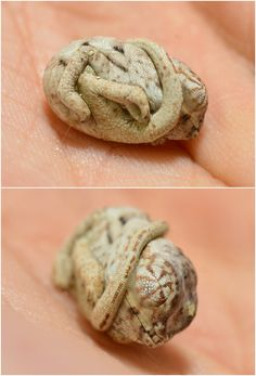 Whoever says reptiles aren't cute is out of their mind. Case in point: This tiny chameleon hatchling who thinks it's still inside an egg!