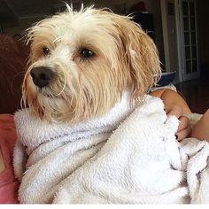 Tired out after my swim Nellie  #MaltipooLove #maltipoosofinstagram #maltipoo #dogsofinstagram #instagramdogs #dogs #maltese #dogsofig #dog #petsofinstagram#doglovers #picoftheday #pets #maltesecavalier#malteseofinstagram#malteseofficial #dogoftheday#barkhappy#lacyandpaws#weeklyfluff#odefix#furfriend#ilovemaltese#buzzfeed#buzzfeedanimals#mydogiscutest #mydog#instapic #instagramdogs#love#loves_animals by fentiger379