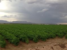 NM chile field and thunderstorms