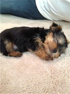 Awwww look at that adorable face #yorkshireterrier