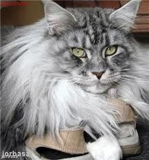 Big Maine coon .. Just beautiful