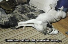 Instructions unclear, dog assembled wrong... and looks like every Siberian Husky doing the silly Siberian Husky Twist.