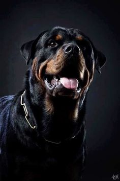 Rottweiler, courageous, yet also gentle and loving, and highly sensitive. This last trait is what  is often so horribly abused by the 'people' who hurt a Rotti so cruelly that it becomes the vicious creature so many think they are by nature.