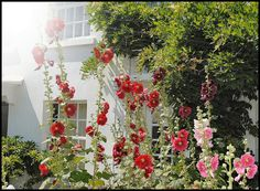 English Country Garden - Hollyhocks