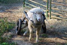 Spin, the lamb, who visits childrens hospitals in her wheels.