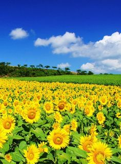 Beautiful sun flower field on a sunny day Beautiful Landscapes, Beautiful Gardens, Beautiful Flowers, Beautiful Places, Beautiful Pictures, Sunflower Pictures, Sunflower Wallpaper, Sunflower Fields, Nature Wallpaper