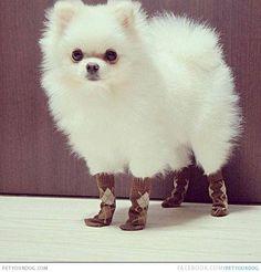 Pomeranian in socks