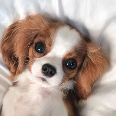 15 Cute & Small Teddy Bear Dog Breeds – These Pups Look Like Cuddly Toys!