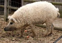 I have no idea what this is. But. It looks like a pig-doodle. Like a pig and poodle mix.