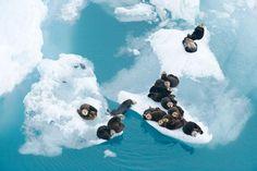 Just chilln'....Sea Otters,  Prince William Sound, Alaska, USA  Photograph by Florian Schulz, Wilhelmsdorf, Germany