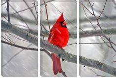 $730 #Cardinal #Bird Canvas Photagraphy Art Print Picture #Canvas Print Wall #Art