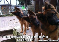 """Did you guys see the new dog next door? Is he in a PURSE?"" ~ Dog Shaming shame - German Shepherds"