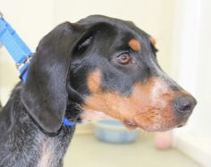 5 month old.  Spayed Female.  Blue Tick Coonhound mix.  25 lbs.Oh gee, I'm an adorable gal!  And I'm always on the go.  Let's go, let's go.  I hope my new family is an active one with lots of hikes and walks and other activities...