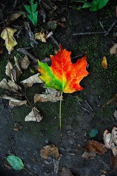 The Maple Leaf...love the colors!  don't know that i'd do too many colors though...
