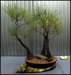 Allocasuarina littoralis & torulosa bonsai