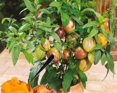 15 semillas de frescos árboles exóticos frutos por FlowersSeeds