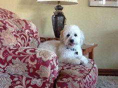 Enjoying time at grandma's. Parker my Coton de Tulear
