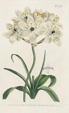 Vintage Botanical Prints, Botanical Drawings, Botanical Art, Botanical Illustration, Illustration Art, Botanical Posters, Violet Flower Tattoos, Watercolor Typography, Star Of Bethlehem