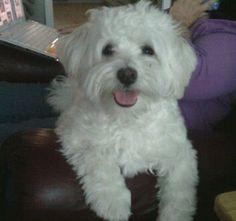 My sweet havanese.....Lucy
