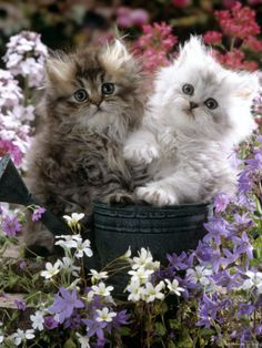 Domestic Cat, Tabby and Siver Chinchilla Persian Kittens, by Watering Can Among Bellflowers