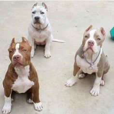 Pitbull puppies, so cute.