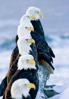 Six Bald Eagles Perched In A Row On Snow Covered Log Homer Spit Kachemak Bay Kenai Peninsula Alaska Canvas Art - Don Pitcher Design Pics x The Eagles, Bald Eagles, Birds Of Prey, All Birds, Eagle Images, Eagle Pictures, Beautiful Birds, Animals Beautiful, Animals And Pets