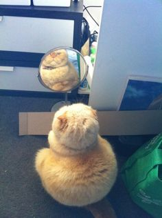 mirror, mirror on the stand...who's the fairest kitteh in the land?
