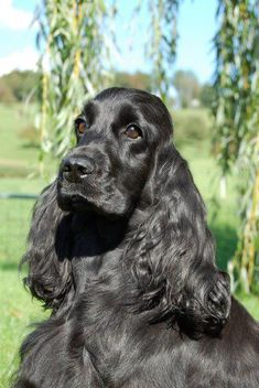 A list of the cutest black cocker spaniel pictures. Are you in the mood to see some adorable photos of black cocker spaniels? This is a list of some of the cutest black cocker spaniel photos. Cocker Spaniel Schwarz, Black Cocker Spaniel Puppies, Perro Cocker Spaniel, Clumber Spaniel, Cockapoo Puppies, Spaniels, Cockerspaniel, English Cocker, Purebred Dogs