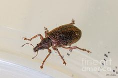 Broad-nosed Weevil - Polydrusus Mollis - photo by Jivko Nakev
