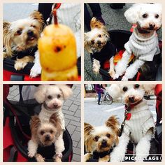 Hanaちゃんノエルに負けじと顔出してる💓 でもHanaのお団子欲しい顔…ヤバイよぉ(笑)  #変顔#可愛い#お団子#ヨークシャテリア#YorkshireTerrier#Yorkie#ヨーキー#プードル#トイプードル#Poodle#ToyPoodle#Hana#ノエル#noeru#愛犬#dog#大好き#Family#犬のいる暮らし#多頭飼い