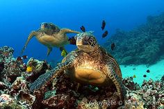 Turtles Swimming  Green sea turtles   at cleaning station,   Chelonia mydas,   Hawaii,   Pacific Ocean