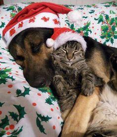 Christmas Cats and Dogs - Bing images Christmas Animals, Christmas Cats, Merry Christmas, Christmas Puppy, Christmas Night, Image Chat, Gif Animé, German Shepherd Dogs, German Shepherds