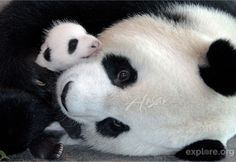Newborn pandas cry for milk about every two hours. Between feedings, a panda mother will rarely put her baby down.