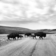 The Secrets of Custer State Park's Wildlife Loop: LOOK at that photo. I need to go here some day!