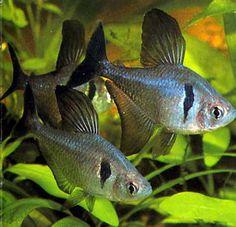 black phantom tetras (Megalamphodus megalopterus)  Definitely some of my favorite fish!