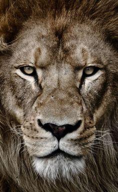 Portrait of a king by arzan bulsara lion tattoo design, lion wallpaper, beautiful cats Lion Images, Lion Pictures, Lion Head Tattoos, Lion Tattoo, Beautiful Cats, Animals Beautiful, Animals And Pets, Cute Animals, Wild Animals