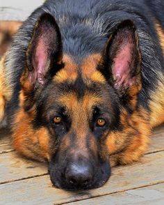 Here Are 10 Facts German Shepherd Lovers Must Always Remember The last one made me cry