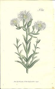 William Curtis Hand Colored 1796 Botanical Print Green-Flowered Fig-Marigold 326