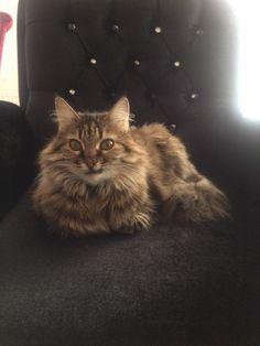 #cats #beutygirl #norvegiancat #forestcat #princess