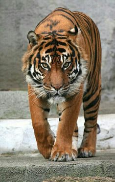 Pin by Kathy Harvey on Tigers Nature Animals, Animals And Pets, Beautiful Cats, Animals Beautiful, Cute Funny Animals, Cute Cats, Big Cats, Cats And Kittens, Chat Lion