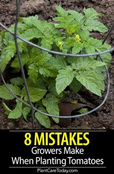Do You Make Any Of These 8 Tomato Plant Growing Mistakes Have problems growing your tomato plants, we share 8 common tomato growing mistakes and how to avoid them when planting, increase size, flavor, and overall output. Home Vegetable Garden, Fruit Garden, Edible Garden, Garden Tomatoes, How To Plant Tomatoes, How To Grow Plants, Epsom Salt For Tomatoes, Tomato Plant Food, Epsom Salt For Plants