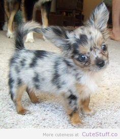 Long haired Chihuahua puppy ... Do you own an Chihuahua? How cute