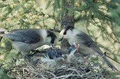Pair of jays feeding their nestlings