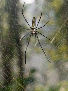 Spider silk spun into violin strings