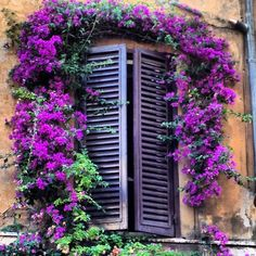 Bougainvillea window in Rome